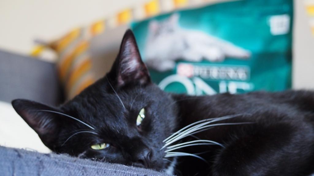 adoptar gatos y proceso de adaptación