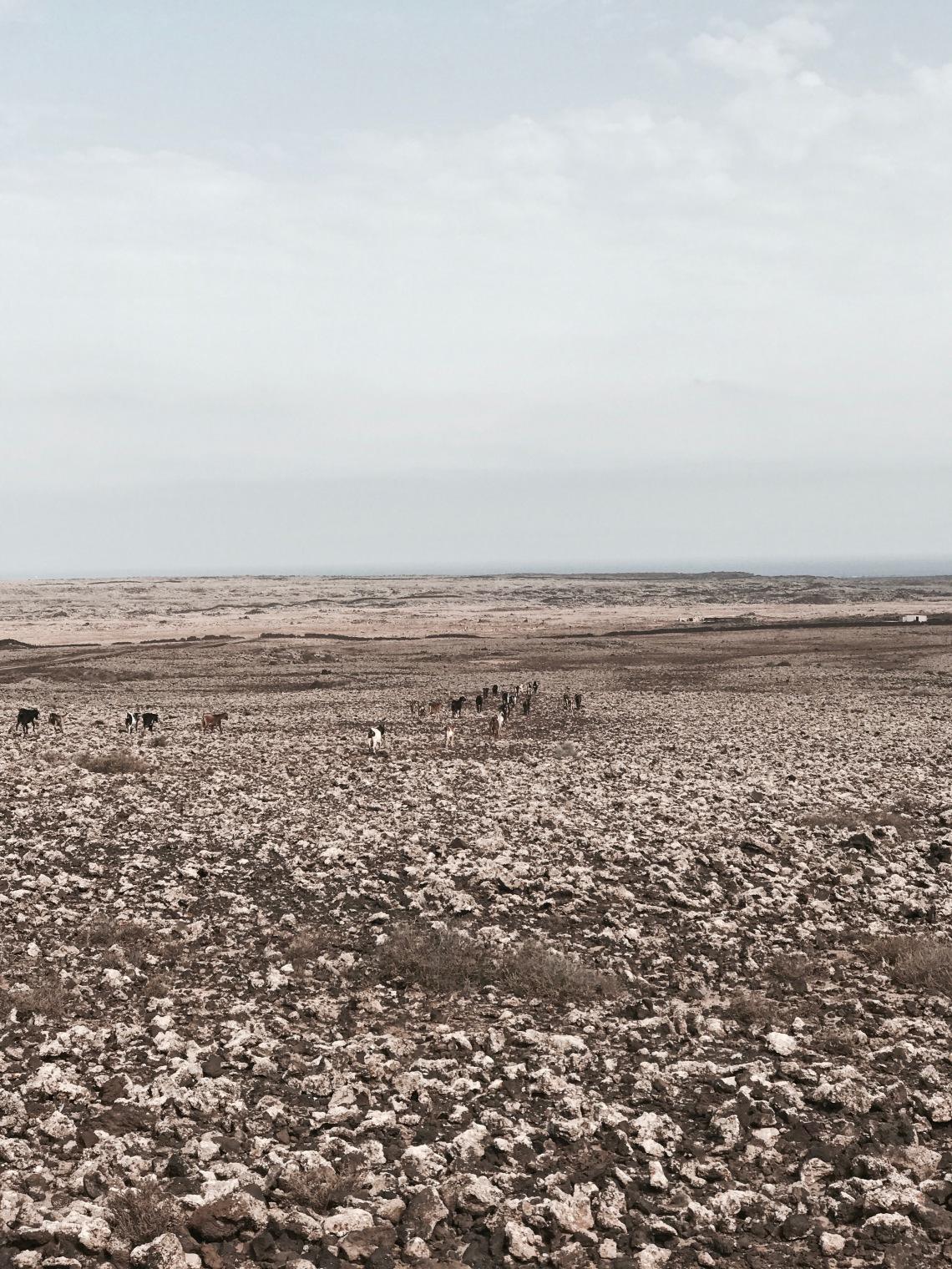 cabras en el desierto de fuerteventura